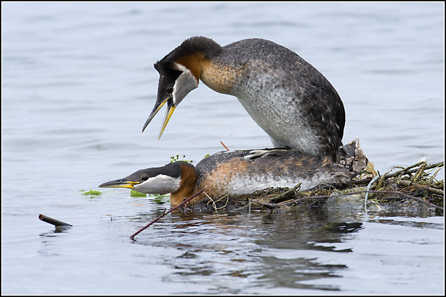 Grebe (Red Necked) - 0667