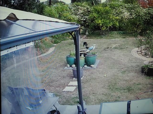 PC114047 crows getting nuts on birdbath via security camera