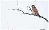 laggar falcon1 by manivi2325