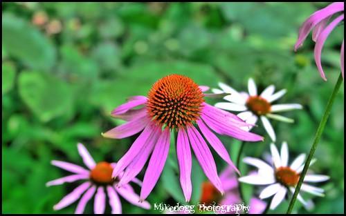 flower beautiful gardens canon botanical eos rebel interesting birmingham alabama hdr lightroom purpleconeflower birminghambotanicalgardens photomatrix