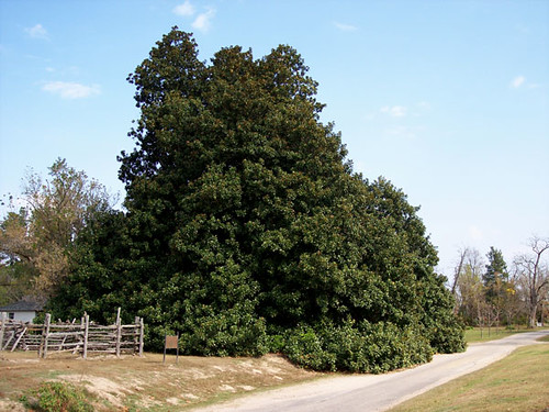 Oldest Magnolia Tree In Arkansas Planted C 1839 Flickr