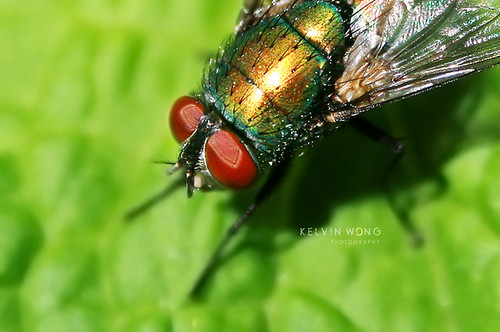 Monster Fly - Busy & Off Flickr | by Kelvin Wong (Away)