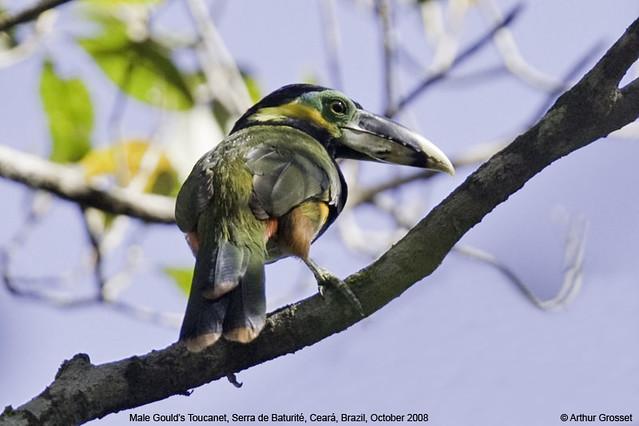 Selenidera gouldii - Gould's Toucanet