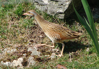 Corn Crake | by Wild Chroma