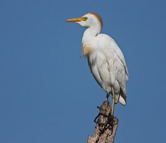 Cattle Egret, near Kissimmee Prairie Preserve SP, FL