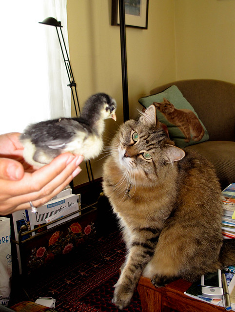 A cat may look at a chick...