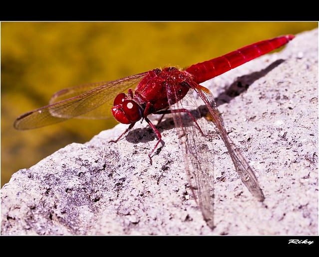 Libelula Roja - Red Dragonfly
