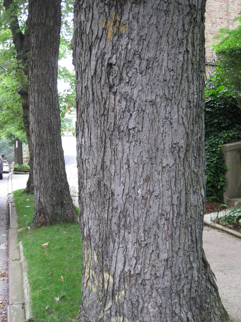 Acer Saccharinum Silver Maple Bark Virens Latin For Greening