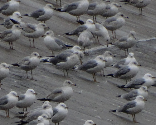 Larus californicusDFL btr14-8 | by barbetboy