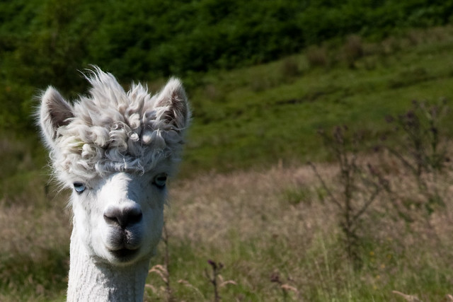 No Sheep 'till Buxton