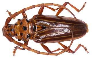 Trachyderes striatus (Fabricius, 1787)