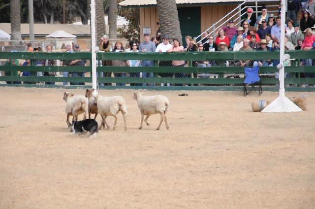sheep dog_last