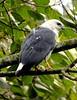 White-necked Hawk/Gavião-pombo-pequeno/Busardo cuellibanco (Leucopternis lacernulatus) by Héctor Bottai