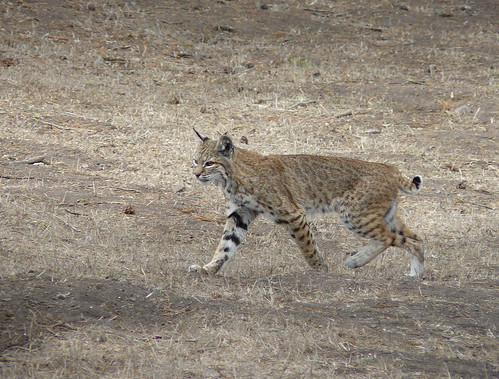 Bobcat - Lynx rufus | by docentjoyce