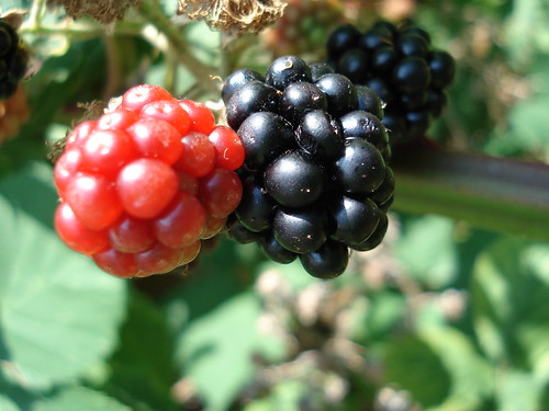 Blackberries | by sanchom