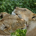 Lionesses mutual grooming 0R7E6480 by WildImages