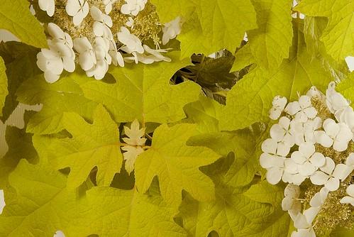 Hydrangea quercifolia 'Little Honey' in late Summer | by Dancing Oaks Nursery