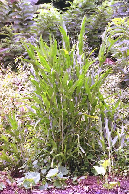 Sorghum bicolor (L.) Moench (POACEAE)
