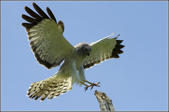 Hawk (Northern Harrier) - 0227