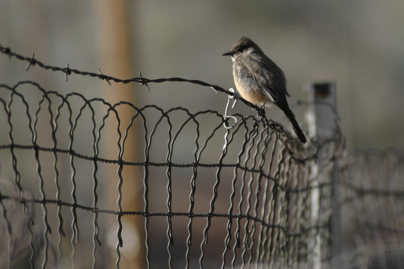 Say's Phoebe on fence