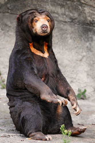 Sitting sun bear   by Tambako the Jaguar
