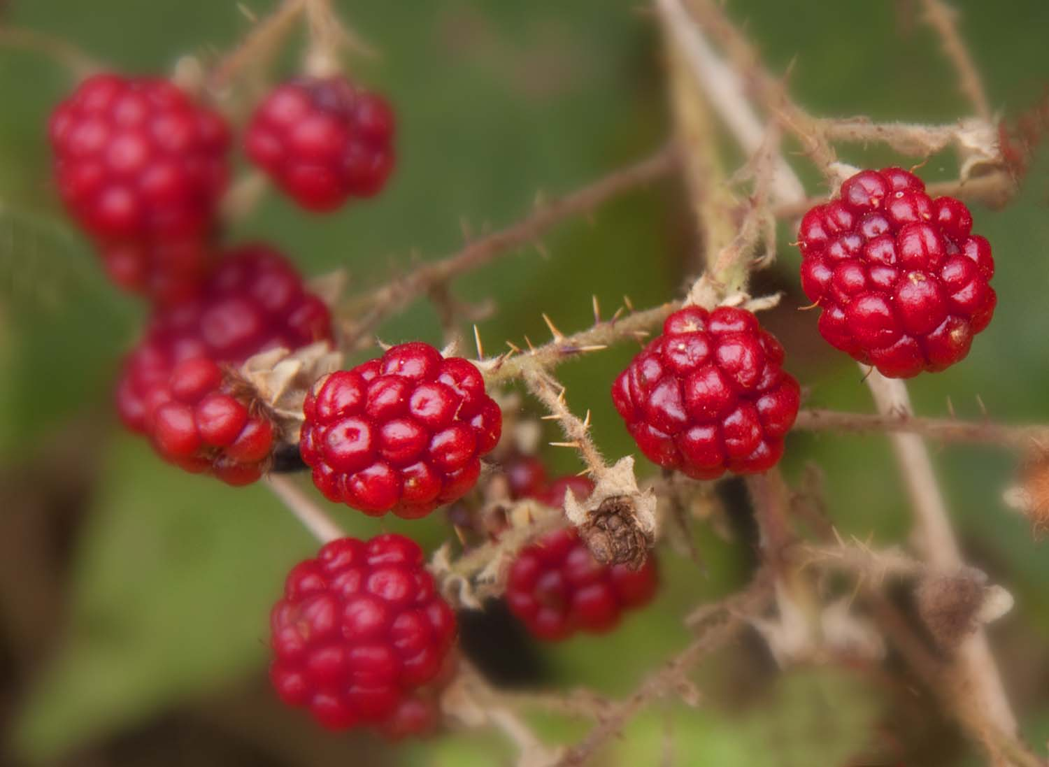 Northwich,Lostock,Galam,Gralam,village,town,england,cheshire,chester,canal,canalside,berry,berries,red,blackbry,blackberry,wild,flowers,weeds,thorns,autumn,bramble,brambles,thorny,HotpixOrgUK,365days,nature,natural,history,world,life,plant,bloom,flower,flores,blome,hotpix!