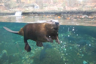 Friendly beaver | by agperson