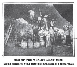 ONE OF THE WHALE'S MANY USES. Liquid spermaceti being drained from the head of a sperm-whale.