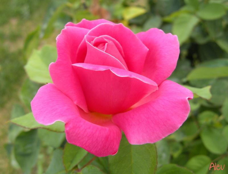 Gül... Rose... | Güller Tomurcuk güller açarken Yüreğime sız… | Flickr