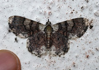 Epipristis sp.? (Geometridae: Geometrinae: Pingasini)