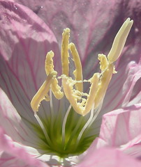 Oenothera speciosa, detail | by Tie Guy II