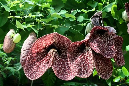 Jardin botanique : fleurs d'aristoloche | by Annabe2008