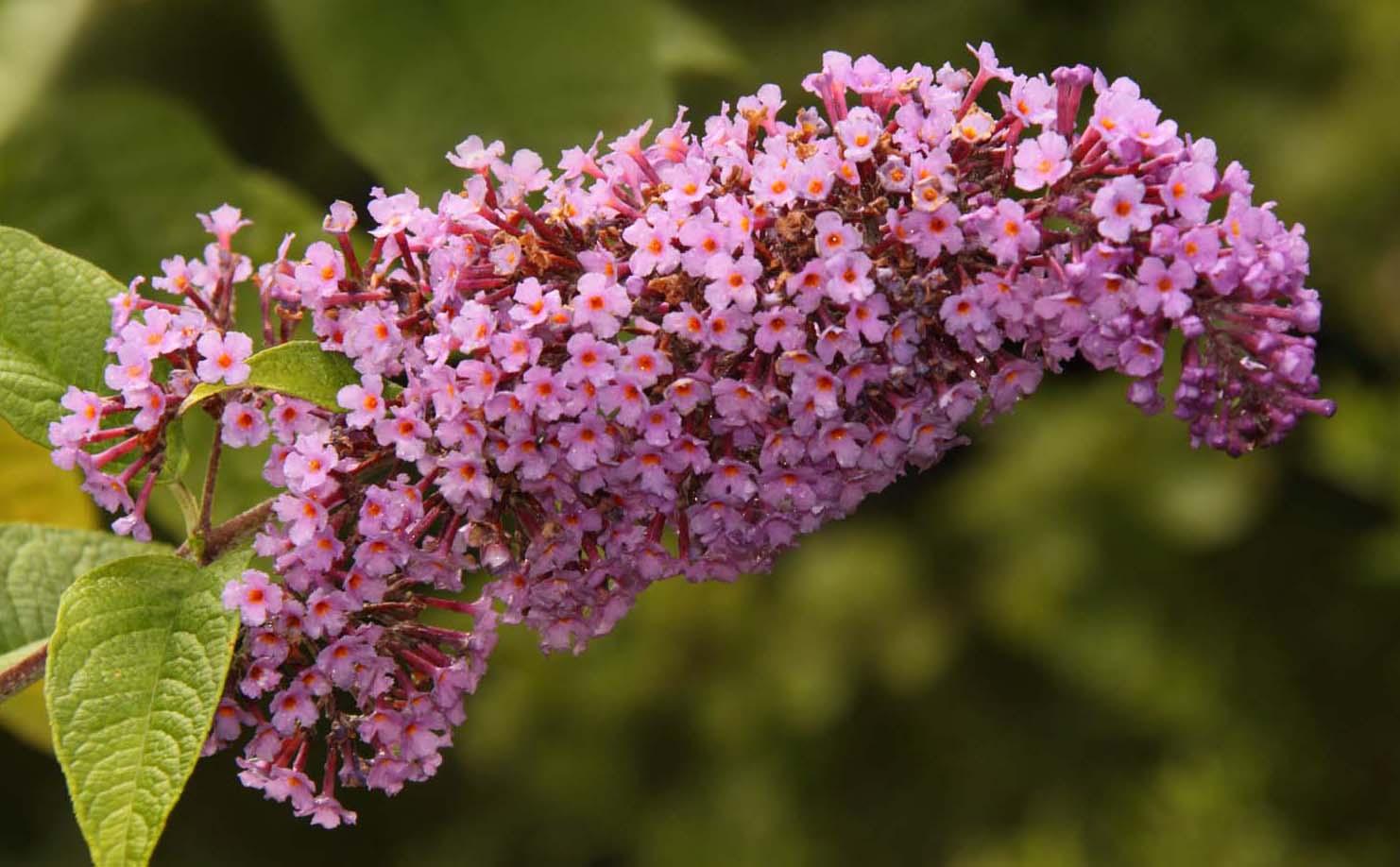 Buddleja davidii,purple Buddleia flower,365days,nature,natural,history,world,life,this photo rocks,plant,bloom,flower,flowers,flores,blome,hotpix!