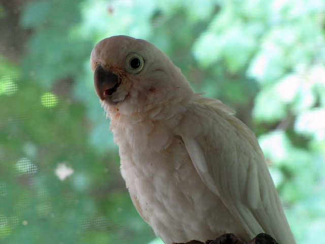 Young goffin's cockatoo
