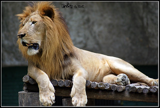 African Lion (Panthera leo leo) | by bob|P-&-S