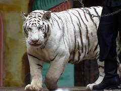 Big Cat Show - White Tiger