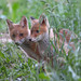 Flickr photo 'Red fox cubs (Vulpes vulpes)' by: bayucca.