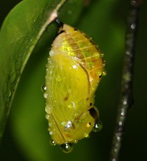Lepidoptera chrysalis 02 | by entophile