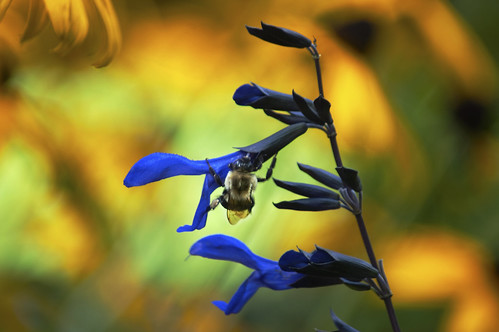 blue black color green yellow bokeh pennsylvania vibrant august bee salvia konicaminolta blackandbluesalviabold