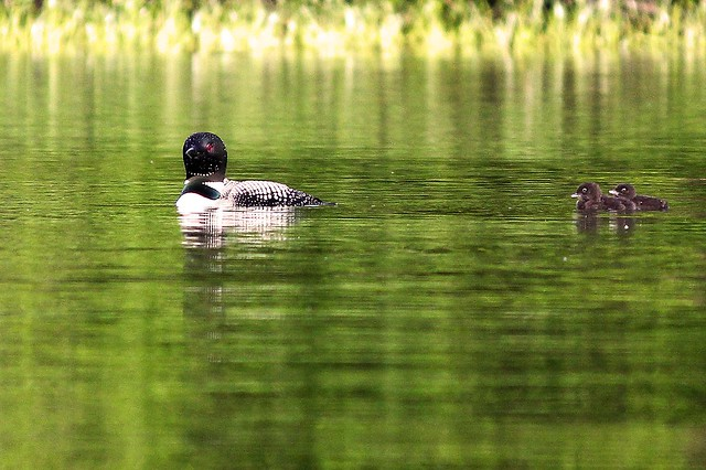 MAP2208 Loons Scurry to Mom
