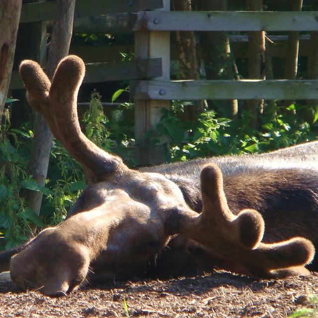 Moody Moose!