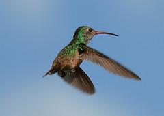 Kolibri   by NLHank