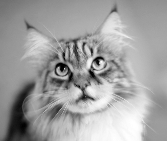 Maine Coon in B/N- Ciccio