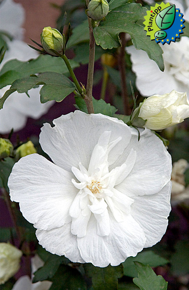 Hibiscus Syriacus White Chiffon Notwoodtwo A Hibiscus Wi Flickr