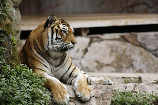 Tigre #1