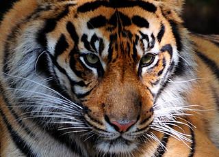 Tiger (Himalayan Tiger)