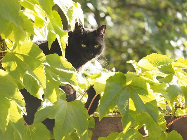 © Black Cat in the Garden Grape Vine - Schwarze Katze im Garten