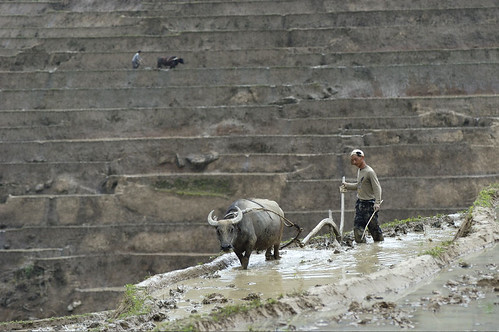 Plowing Rice Paddies in the Future Reservoir Area of Xiaowan Dam | by International Rivers