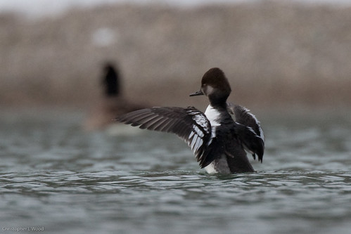 Apparent Hybrid Hooded Merganser x Bufflehead; Mississauga, Ontario | by zeledonia