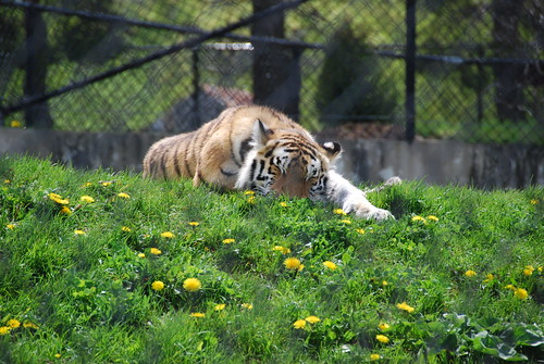 Sleepy Siberian Tiger   by cetaylor